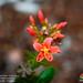 Jatropha nudicaulis - Photo (c) Green Jewel, some rights reserved (CC BY-NC)