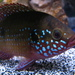 Jewel Cichlids - Photo (c) calwhiz, some rights reserved (CC BY-NC-ND)