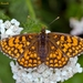Heath Fritillary - Photo (c) Marcello Consolo, some rights reserved (CC BY-NC-SA)