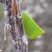 Siphanta acuta - Photo (c) John Tann, algunos derechos reservados (CC BY)