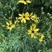 Coreopsis tripteris - Photo (c) Ari Rice, algunos derechos reservados (CC BY-NC)
