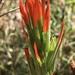 Castilleja minor exilis - Photo (c) Jackie Grant, algunos derechos reservados (CC BY-NC-SA)