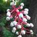 Actaea pachypoda - Photo (c) dogtooth77, algunos derechos reservados (CC BY-NC-SA)