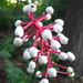 Actaea pachypoda - Photo (c) dogtooth77,  זכויות יוצרים חלקיות (CC BY-NC-SA)