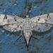 Parapoynx stagnalis - Photo (c) Vijay Anand Ismavel, algunos derechos reservados (CC BY-NC-SA), uploaded by Dr. Vijay Anand Ismavel MS MCh