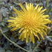 Perennial Sow Thistle - Photo (c) Kathy Ward, some rights reserved (CC BY-NC)