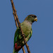 Scaly-headed Parrot - Photo (c) Eden Fontes, some rights reserved (CC BY-NC)