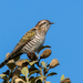 Cuckoos - Photo (c) andrew_allen, some rights reserved (CC BY-NC)