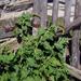 Blitum bonus-henricus - Photo ללא זכויות יוצרים