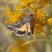 Pseudanarta flava - Photo (c) James Bailey, μερικά δικαιώματα διατηρούνται (CC BY-NC)