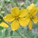 Lindheimer's Senna - Photo (c) CompanyInk, some rights reserved (CC BY-NC)