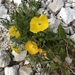 Papaver alpinum kerneri - Photo (c) paolaanna, some rights reserved (CC BY-NC)