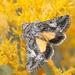 Pseudanarta crocea - Photo (c) James Bailey, μερικά δικαιώματα διατηρούνται (CC BY-NC)