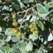 Searsia glauca - Photo (c) Matthew Fainman,  זכויות יוצרים חלקיות (CC BY)
