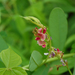 Alysicarpus rugosus - Photo (c) Jayesh Patil,  זכויות יוצרים חלקיות (CC BY-NC-ND)