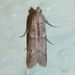 Dusky Raisin Moth - Photo (c) Chuck Sexton, some rights reserved (CC BY-NC)