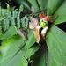 Costus malortieanus - Photo (c) Dave Skinner, μερικά δικαιώματα διατηρούνται (CC BY-NC)