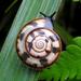 Trochomorphoidea - Photo (c) Chun Xing Wong, algunos derechos reservados (CC BY-NC)