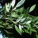 Fraxinus berlandieriana - Photo (c) Jed Aplaca, alguns direitos reservados (CC BY-NC)