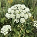 Moon Carrot - Photo (c) Aleksandr V. Lebedev, some rights reserved (CC BY-NC)