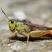 Stauroderus scalaris - Photo (c) Gilles San Martin, algunos derechos reservados (CC BY-SA)
