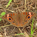 Southern Mangrove Buckeye - Photo (c) Edward Perry IV, some rights reserved (CC BY-NC)