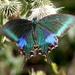 Papilio bianor - Photo (c) K S Gopi Sundar, algunos derechos reservados (CC BY-NC)