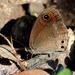 Callerebia hybrida - Photo (c) K S Gopi Sundar,  זכויות יוצרים חלקיות (CC BY-NC)