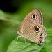 Ypthima sakra - Photo (c) Bird Explorers, μερικά δικαιώματα διατηρούνται (CC BY-NC)