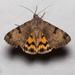 Drasteria ochracea - Photo (c) Ken-ichi Ueda,  זכויות יוצרים חלקיות (CC BY)
