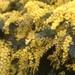 Acacia dealbata - Photo (c) mark_smale, algunos derechos reservados (CC BY-NC)
