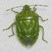 Banasa euchlora - Photo (c) John Morgan, algunos derechos reservados (CC BY-NC)