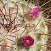 Mammillaria bombycina - Photo (c) David Hoare,  זכויות יוצרים חלקיות (CC BY-NC)