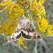 Sympistis albifasciata - Photo (c) Sam McNally, μερικά δικαιώματα διατηρούνται (CC BY-NC)