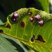 Caryomyia sanguinolenta - Photo (c) Ken Potter, alguns direitos reservados (CC BY-NC)