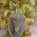 Antheminia eurynota remota - Photo (c) Sam McNally, alguns direitos reservados (CC BY-NC)