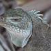 Iguana de Las Rocas de Bahamas - Photo (c) Tim Sackton, algunos derechos reservados (CC BY-SA)