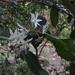 Doryphora sassafras - Photo (c) vavilovian_mimic, osa oikeuksista pidätetään (CC BY-NC)
