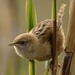 Apolinar's Wren - Photo (c) Neil Orlando Diaz Martinez, some rights reserved (CC BY-SA)