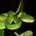 White-lipped Pitviper - Photo (c) Leonid A. Neymark, some rights reserved (CC BY-NC)