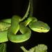 Trimeresurus albolabris - Photo (c) Leonid A. Neymark, algunos derechos reservados (CC BY-NC)