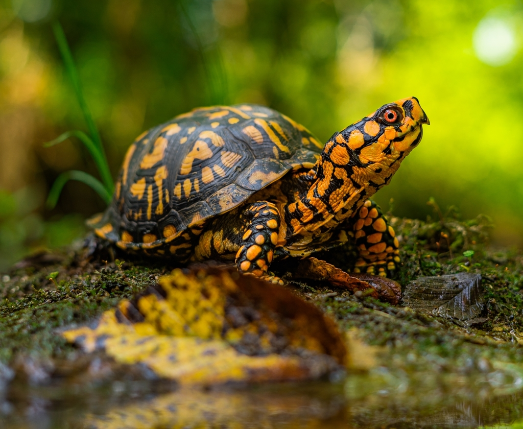 Eastern Box Turtle (Subspecies Terrapene carolina carolina) · iNaturalist