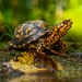 Pond and Box Turtles - Photo (c) Richard Coldiron, some rights reserved (CC BY-NC)