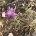 Atractylis humilis - Photo (c) Andrew Lamb, algunos derechos reservados (CC BY-NC)