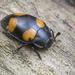 Escarabajos de Hongo - Photo (c) budak, algunos derechos reservados (CC BY-NC)