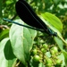 Ebony Jewelwing - Photo (c) Victor Fazio, some rights reserved (CC BY-NC-SA)