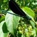 Calopteryx maculata - Photo (c) Victor Fazio, algunos derechos reservados (CC BY-NC-SA)