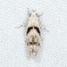 Arogalea cristifasciella - Photo (c) Ashley M Bradford, algunos derechos reservados (CC BY-NC)