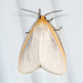 Delicate Cycnia Moth - Photo (c) Ashley M Bradford, some rights reserved (CC BY-NC)