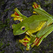 Malabar Gliding Frog - Photo (c) Anil Kumar Verma, some rights reserved (CC BY-NC)